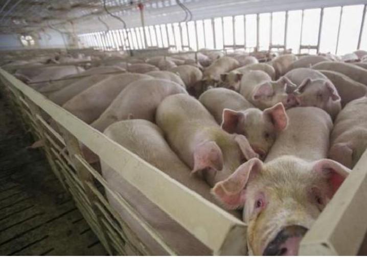 Penerapan Usaha Peternakan Babi Di Dalam Software Accurate